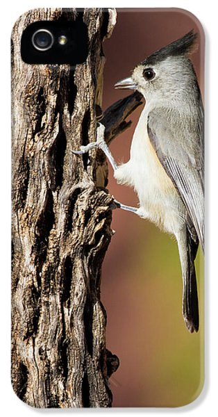 Titmouse iPhone 5 Case - Black-crested Titmouse (baeolophus by Larry Ditto