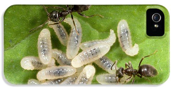 Black Garden Ants Carrying Larvae IPhone 5 Case
