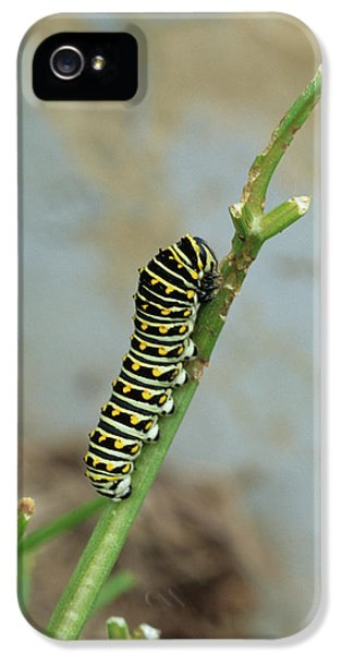 Black Swallowtail (papilio Polyxenes IPhone 5 Case by Richard and Susan Day