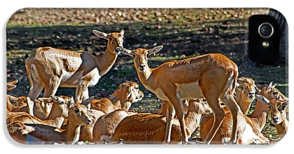 Blackbuck Female And Fawns IPhone 5 Case