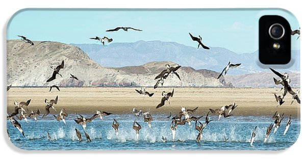Blue-footed Boobies Feeding IPhone 5 Case by Christopher Swann
