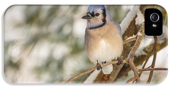 Bluejay iPhone 5 Case - Blue Jay by Everet Regal