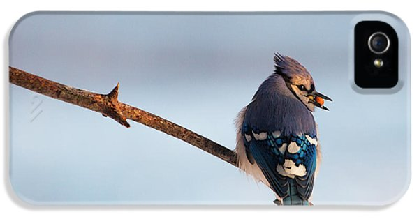 Blue Jay With Nuts IPhone 5 Case by Everet Regal