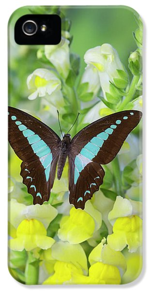 Blue Triangle Butterfly, Graphium IPhone 5 Case by Darrell Gulin