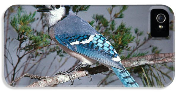 Bluejay Calling IPhone 5 Case by John S. Dunning