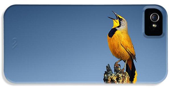 Bokmakierie Bird Calling IPhone 5 Case by Johan Swanepoel
