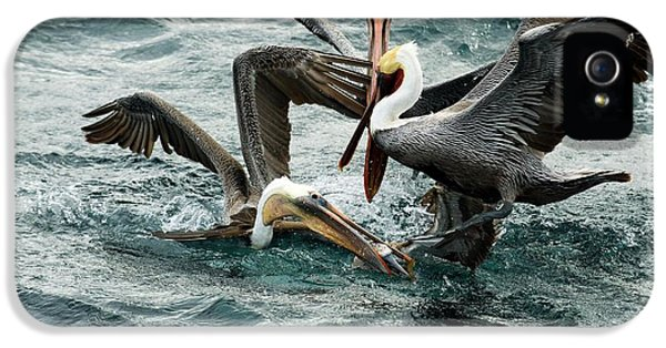 Brown Pelicans Stealing Food IPhone 5 Case by Christopher Swann