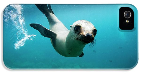 California Sea Lion Pup IPhone 5 Case by Christopher Swann