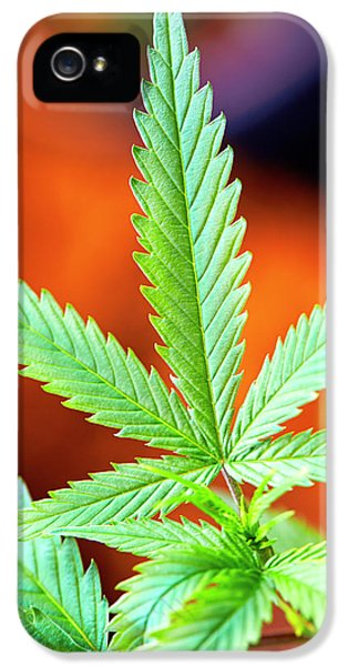 Cannabis Seedling Under Mixed Grow IPhone 5 Case by Stock Pot Images