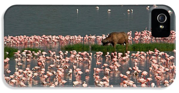 Cape Buffalo And Lesser Flamingos IPhone 5 Case by Panoramic Images