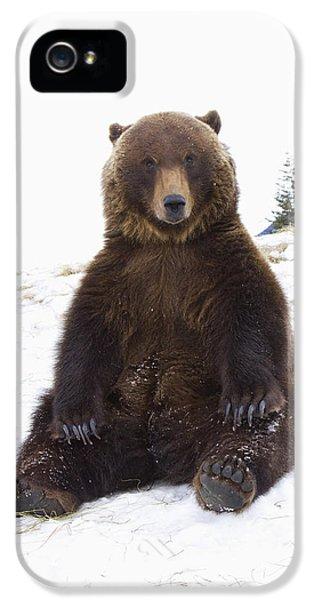 Captive Grizzly During Winter Sits IPhone 5 Case by Doug Lindstrand