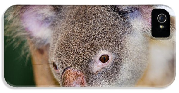 Captive Koala Bear IPhone 5 Case by Ashley Cooper