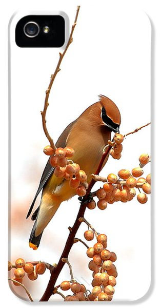 Cedar Wax Wing IPhone 5 / 5s Case by Floyd Tillery