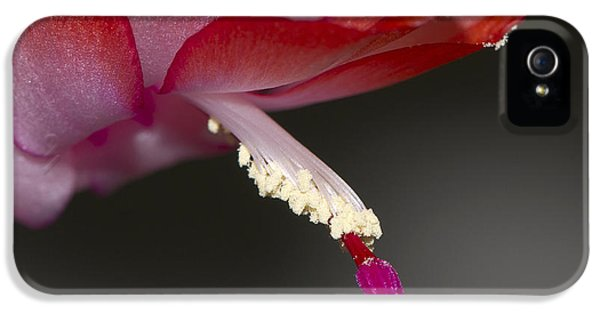 Christmas Cactus  IPhone 5 Case by Sharon Talson