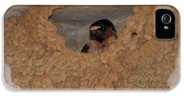 Cliff Swallows IPhone 5 Case by Paul J. Fusco