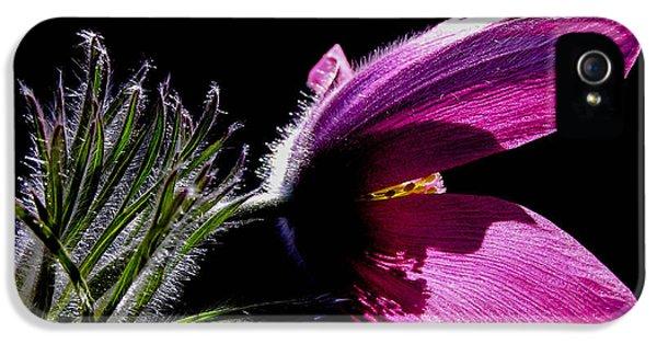 Purple Pasque Flower With Dark Background IPhone 5 Case by Kerstin Ivarsson