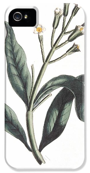 Clove Eugenia Aromatica IPhone 5 Case by Anonymous