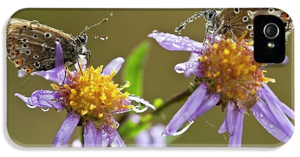 Common Blue Butterflies Covered In Dew IPhone 5 Case by Bob Gibbons
