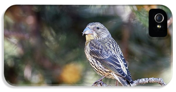 Common Crossbill Juvenile IPhone 5 Case by Dr P. Marazzi