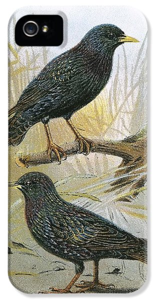 Starlings iPhone 5 Case - Common Starling Top And Intermediate Starling Bottom by English School