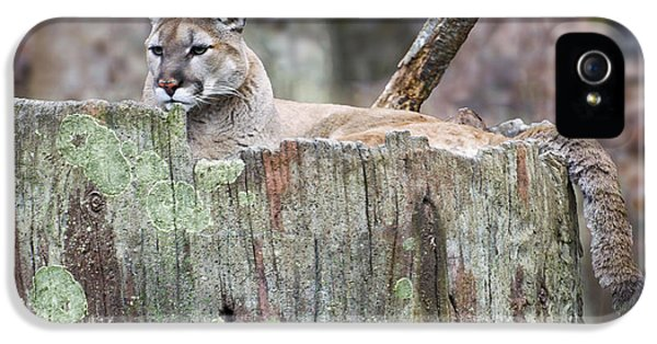 Cougar On A Stump IPhone 5 Case