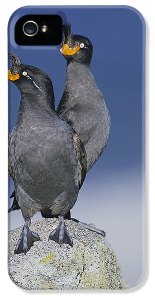 Crested Auklet Pair IPhone 5 Case by Toshiji Fukuda
