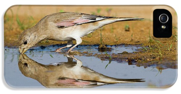 Desert Finch (carduelis Obsoleta) IPhone 5 / 5s Case by Photostock-israel