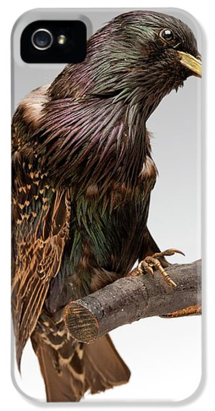 European Starling IPhone 5 Case by Ucl, Grant Museum Of Zoology