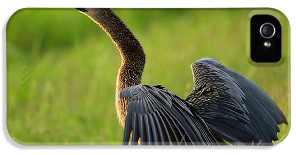 Anhinga iPhone 5 Case - Female Anhinga Drying Out Wings by Maresa Pryor