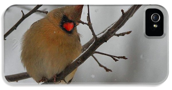 Female Cardinal In Winter IPhone 5 Case by Dan Sproul