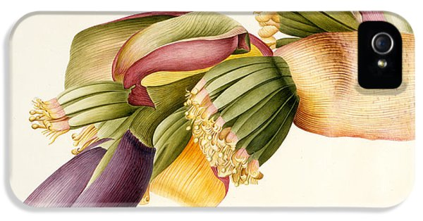Flower Of The Banana Tree  IPhone 5 Case by Georg Dionysius Ehret