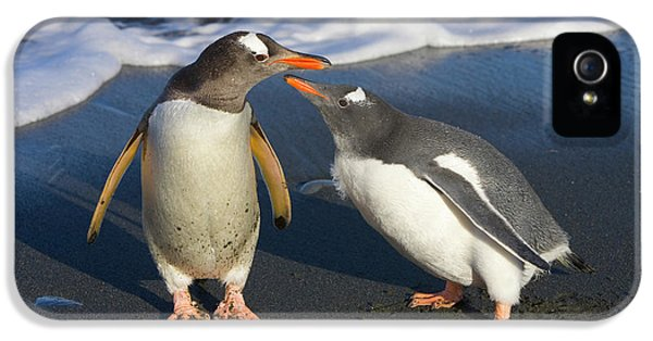 Gentoo Penguin Chick Begging For Food IPhone 5 Case by Yva Momatiuk and John Eastcott