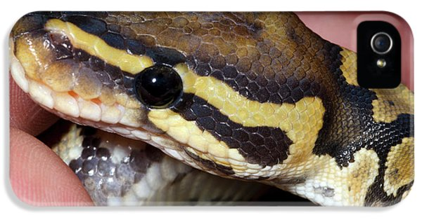 Python iPhone 5 Case - Ghost Royal Python Or Ball Python by Nigel Downer