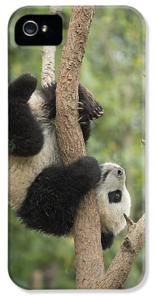 Giant Panda Cub In Tree Chengdu Sichuan IPhone 5 Case by Katherine Feng