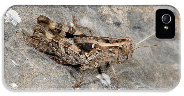 Grasshopper Calliptamus Barbarus Juvenile IPhone 5 Case by Nigel Downer