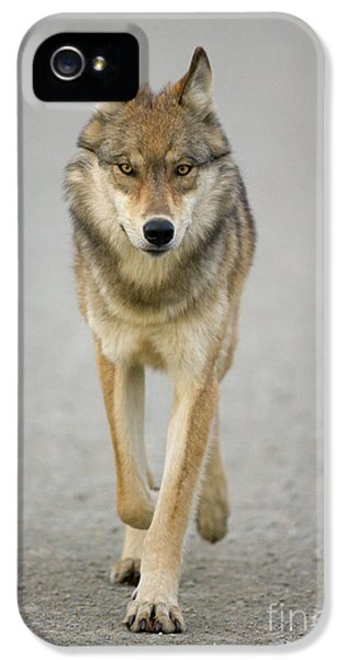 Wolves iPhone 5 Case - Gray Wolf Denali National Park Alaska by Yva Momatiuk John Eastcott