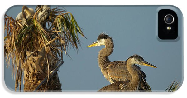 Anhinga iPhone 5 Case - Great Blue Heron Chick In Nest, Ardea by Maresa Pryor