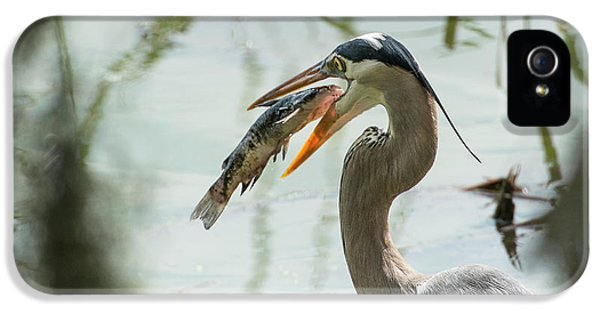 Great Blue Heron With Fish In Mouth IPhone 5 / 5s Case by Sheila Haddad