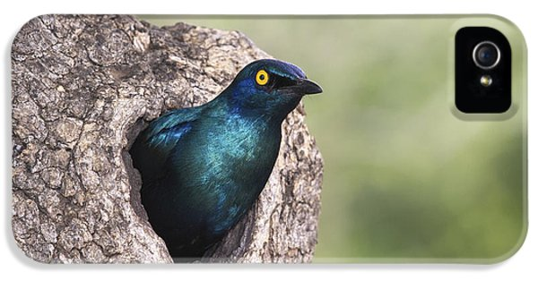 Greater Blue-eared Glossy-starling IPhone 5 Case by Andrew Schoeman