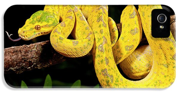 Python iPhone 5 Case - Green Tree Python, Morelia by David Northcott
