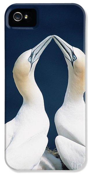 Greeting Gannets Canada IPhone 5 Case by Yva Momatiuk John Eastcott