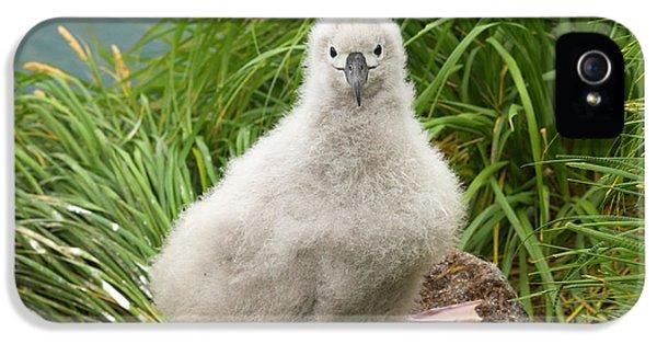 Grey-headed Albatross Chick IPhone 5 Case by Yva Momatiuk John Eastcott