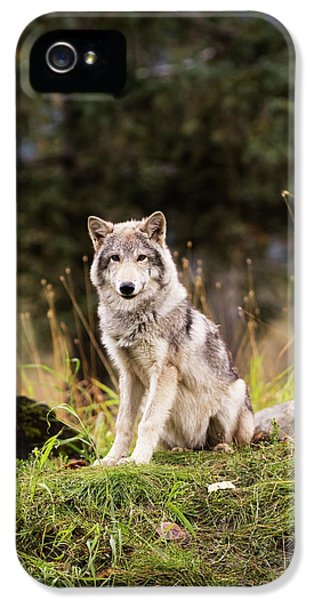 Grey Wolf  Canis Lupus  Pup Roams It S IPhone 5 Case by Doug Lindstrand