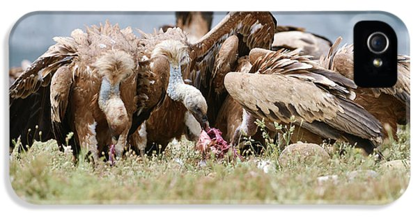 Griffon Vultures Scavenging IPhone 5 Case by Dr P. Marazzi