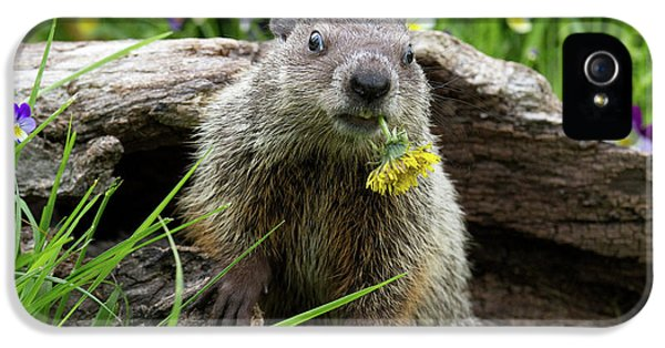 Groundhog  Kit Marmota Monax IPhone 5 Case by Debbie Dicarlo