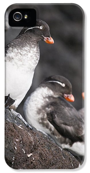 Auklets iPhone 5 Case - Group Of Parakeet Auklets, St. Paul by John Gibbens
