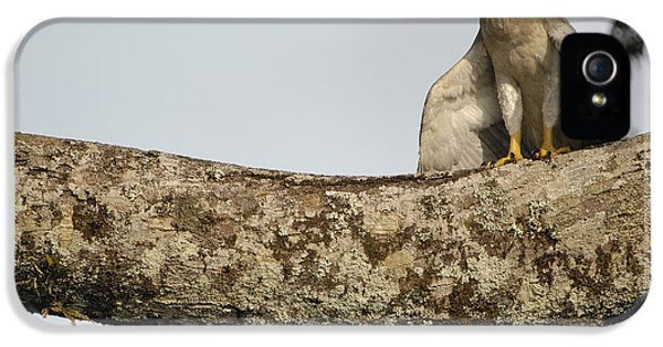 Harpy Eagle iPhone 5 Case - Harpy Eagle Chick In Kapok Tree by Pete Oxford