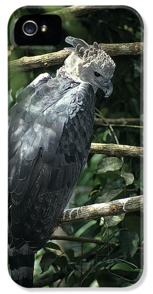 Harpy Eagle iPhone 5 Case - Harpy Eagle Harpia Harpyja by David Santiago Garcia