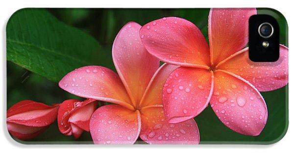 Plumeria Flower iPhone 5 Case - He Pua Laha Ole Hau Oli Hau Oli Oli Pua Melia Hae Maui Hawaii Tropical Plumeria by Sharon Mau