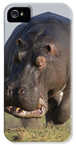 Hippopotamus Bull Charging Botswana IPhone 5 Case by Vincent Grafhorst